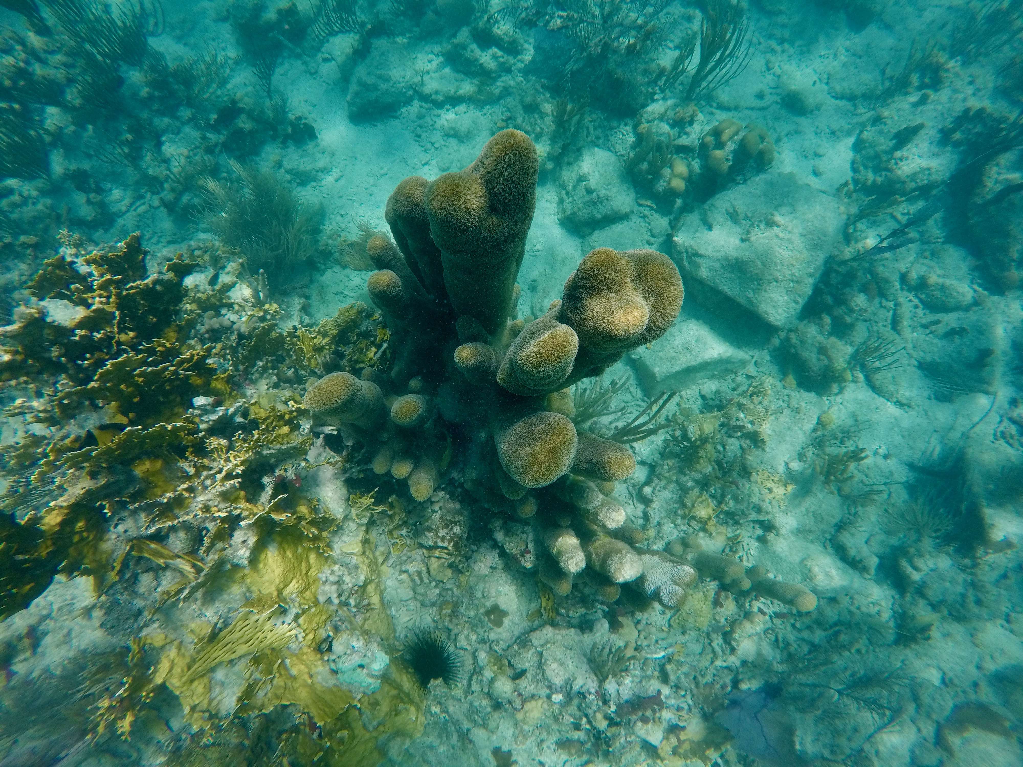 Pillar Coral on the North Shore