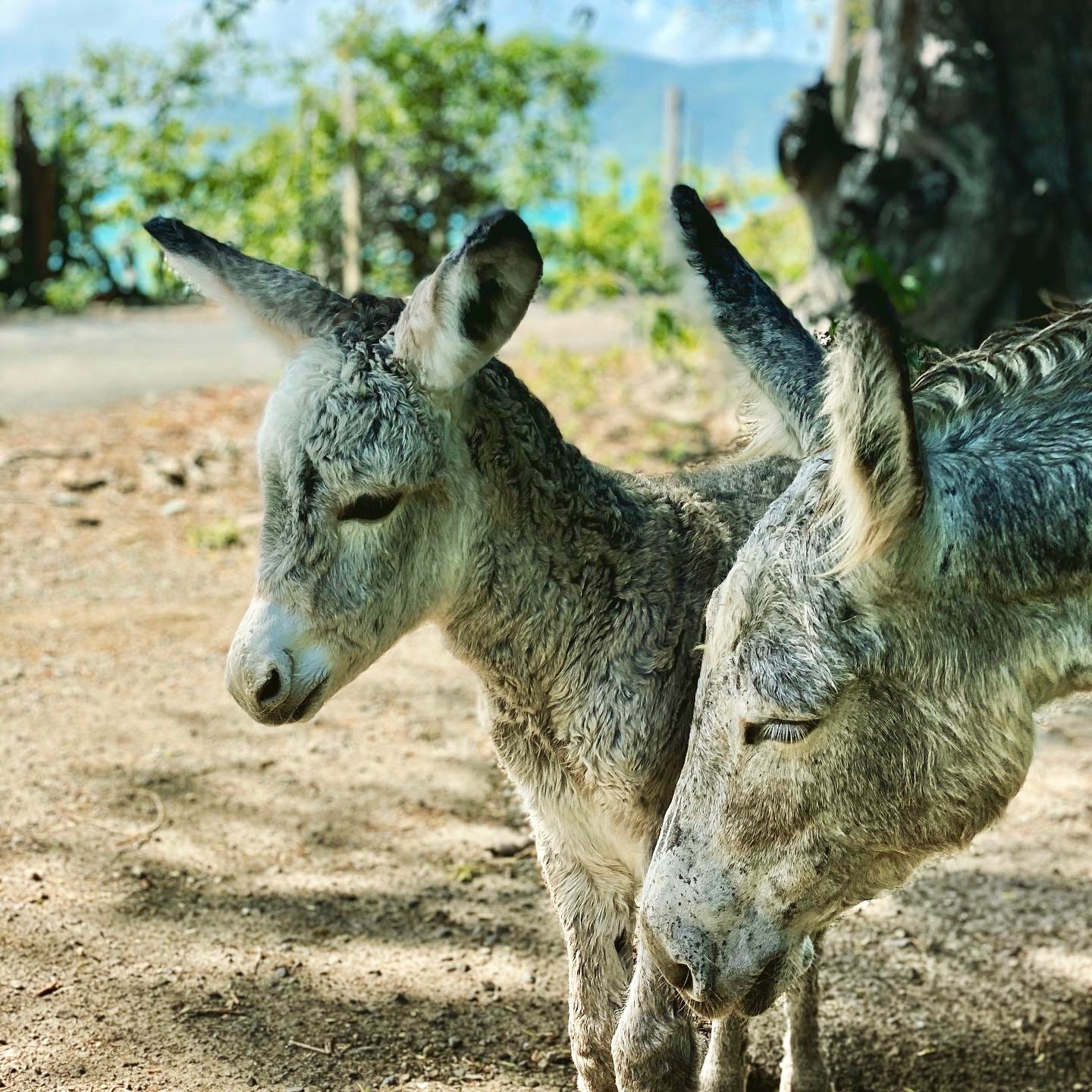 Donkey and his momma