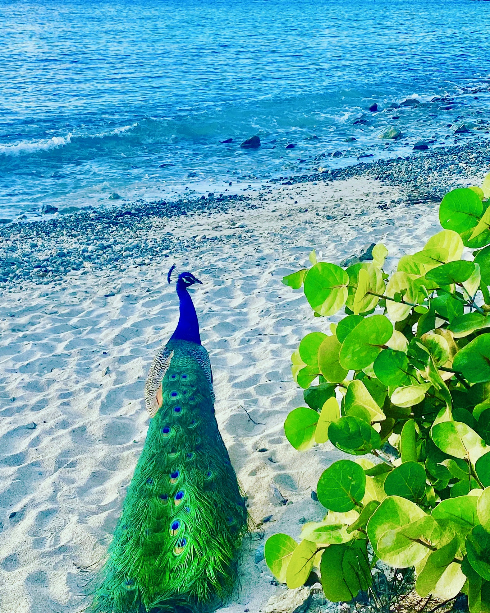 Peacock in Frank Bay
